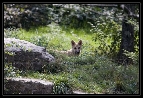 Petit loup arctique