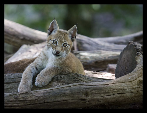 Petit Lynx