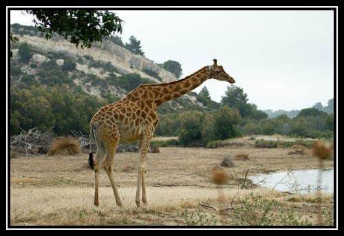 Girafe peralta