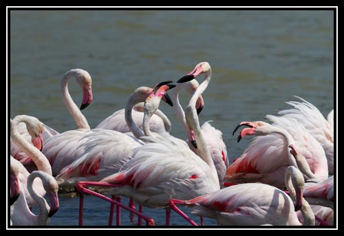 Flamants roses se chicanant