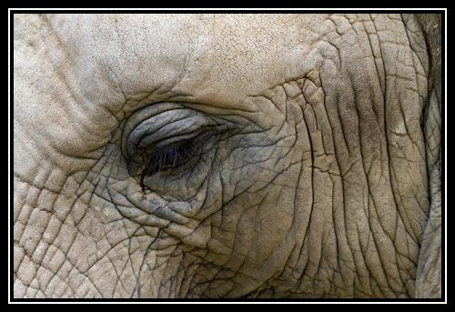 Eléphant d'Afrique - œil