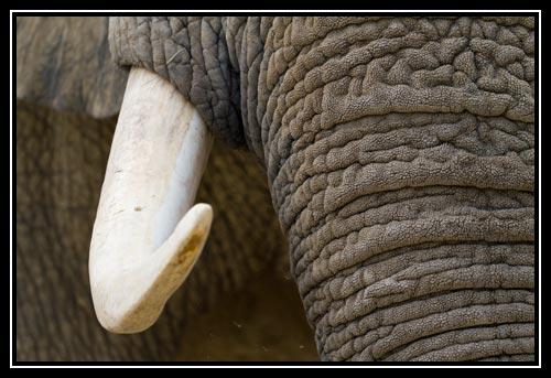 Eléphant d'Afrique - défense