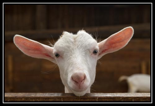 Visite de la chèvrerie